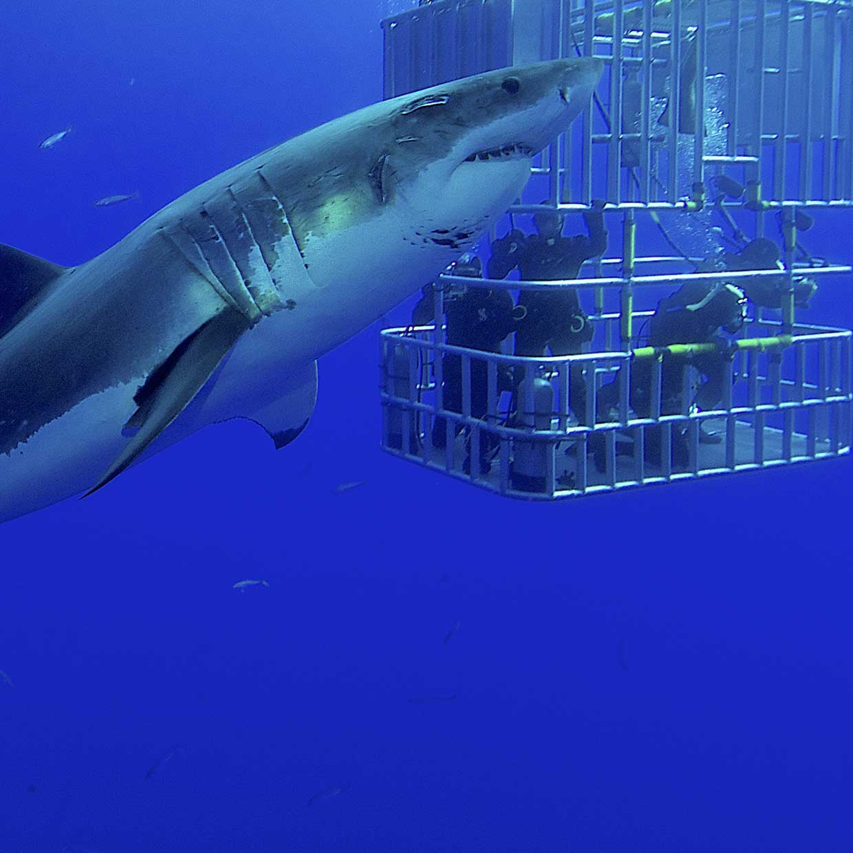 Great White Shark Diving Holidays