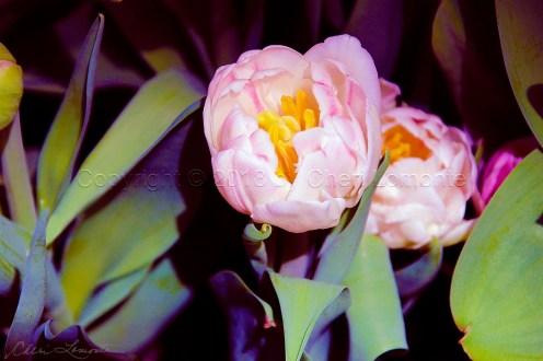 Dana's Tulips