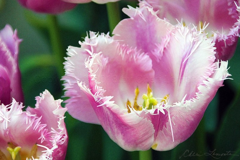Fanciful Pink Tulips