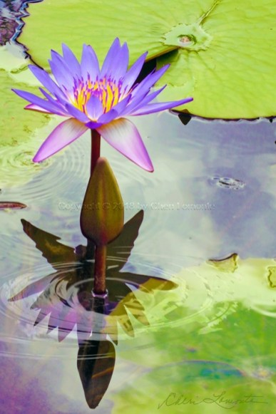 Reflection Lotus