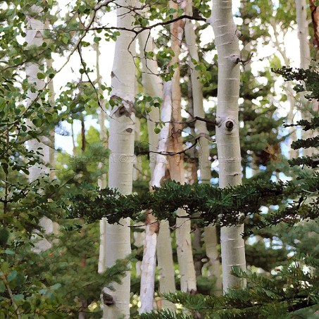 White bark on tree limbs of aspen in Colorado