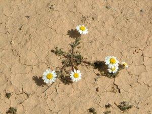 flowerdesert