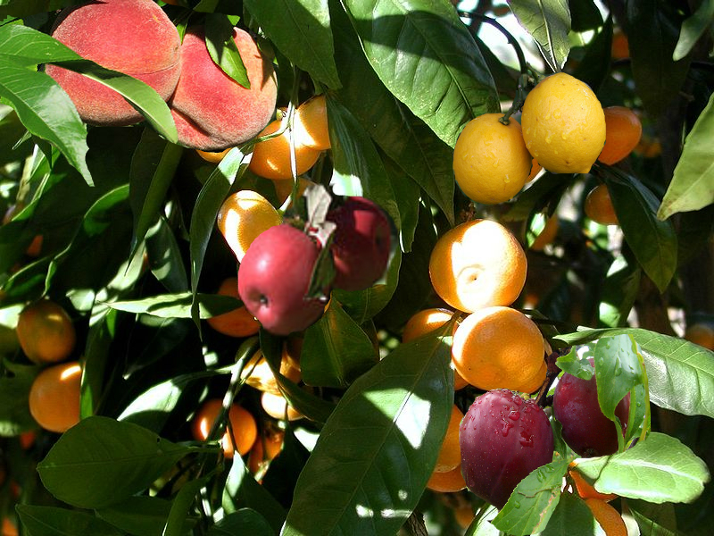 Adoption of gentiles grafting of fruit divine truth christian center - Graft plum tree tips ...
