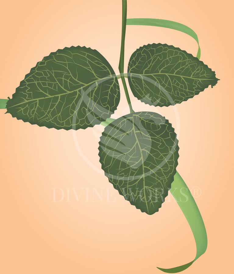 Free Green Leaf Vector Illstration by Divine Works