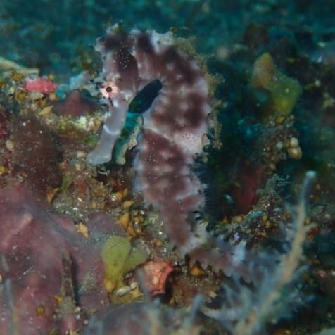 Морской конек на Бали