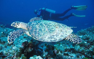 Diver & Turtle at Similan Scuba Diving Site Shark Fin Reef