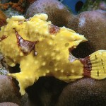 Yellow Frogfish - Marine Life of Thailand