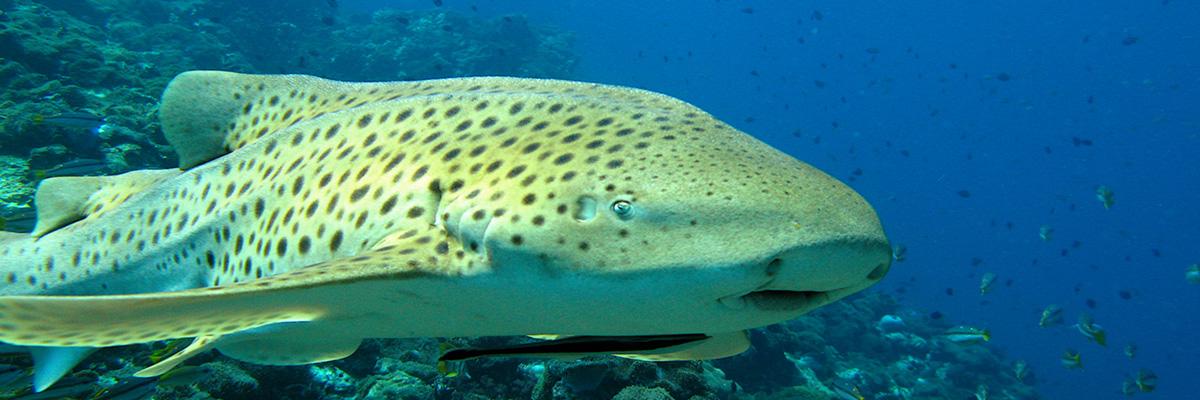 Leopard Shark 1200x400
