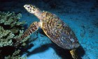 Sea Turtle blue water
