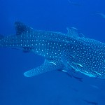 Whale Shark midwater