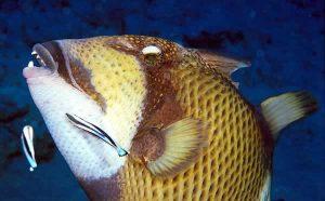 Titan Trigger Fish, Cleaner Wrasse
