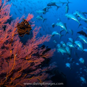 Schooling jacks & sea fan
