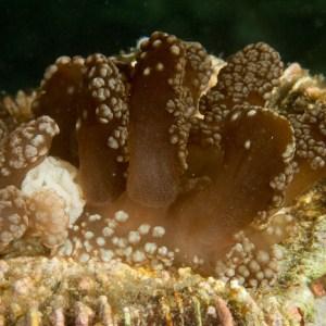 Melibe coralophilia