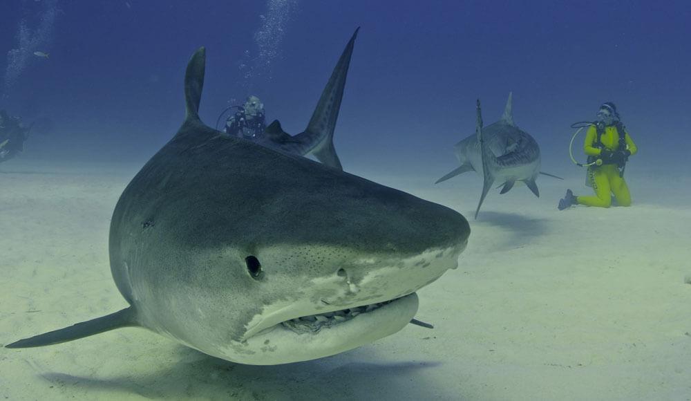 Tiger Shark @ Bahamas (Sharkschool)