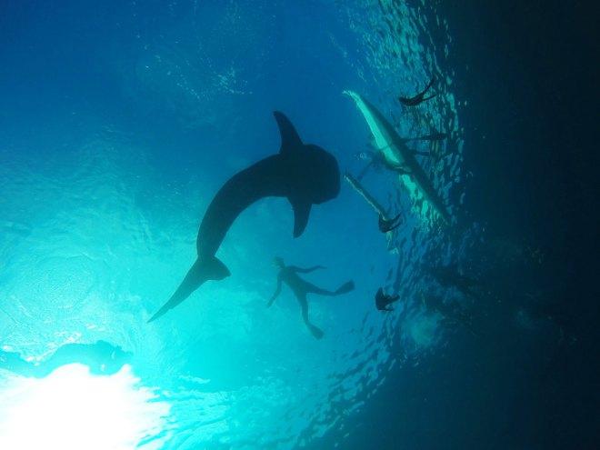 Walhai auf den Philippinen