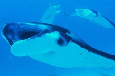 Diving Trip with Solmar V - lots of Mantas