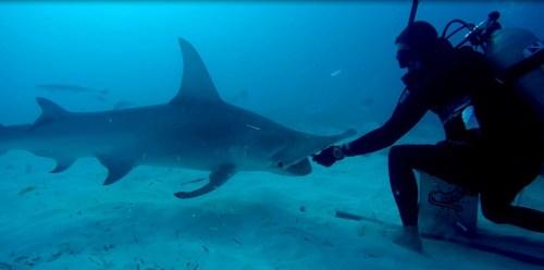 Bimini Hammerhaie beim Fressen