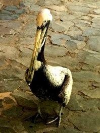 Der Pelikan mag nur Red Snapper