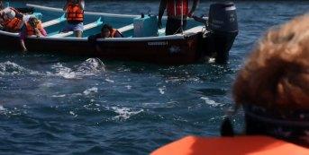 Grauwal beim Boot