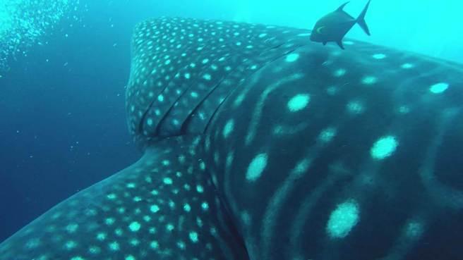 044-galapagos-darwin-diving-whaleshark