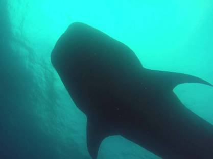 047-galapagos-darwin-whaleshark-walhai