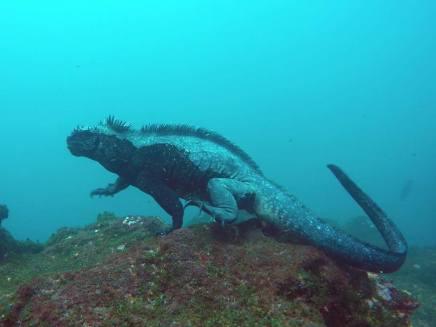 Marine Iguana auf Isla Fernandina