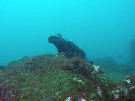 063-fernandina-galapagos-underwater-iguana-leguan