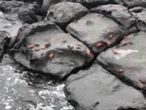 Hunderte Krabben auf den Felsen von Plazas Islands