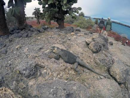 Galapagos Iguana at Isla Plaza Sur