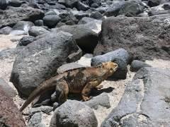 Galapagos Iguana