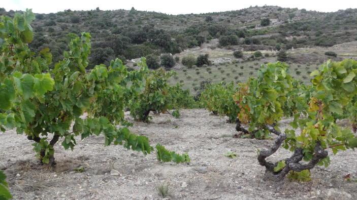 winesafari-Riberach-Divinos-Sabores-viñedos