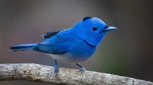Twitter blue bird real passaro azul