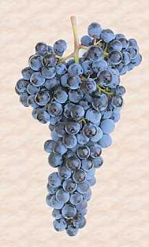 Un grappolo di uva Sangiovese