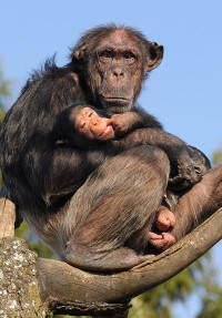 Schimpanshona med unge