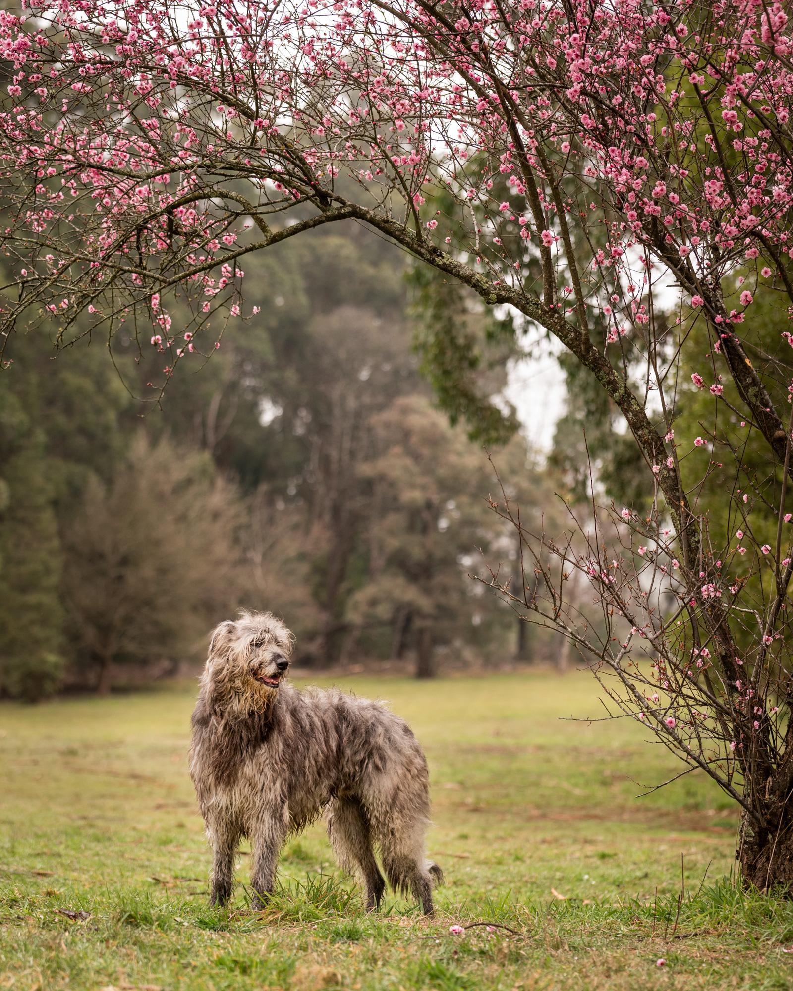 Dixon Photography, Dixon dog photography, dog photography Melbourne, location dog photography, pet photography Melbourne, Melbourne dog photographer, melbourne pet photography, dog photos Melbourne, wolfhound, wolfhound cross