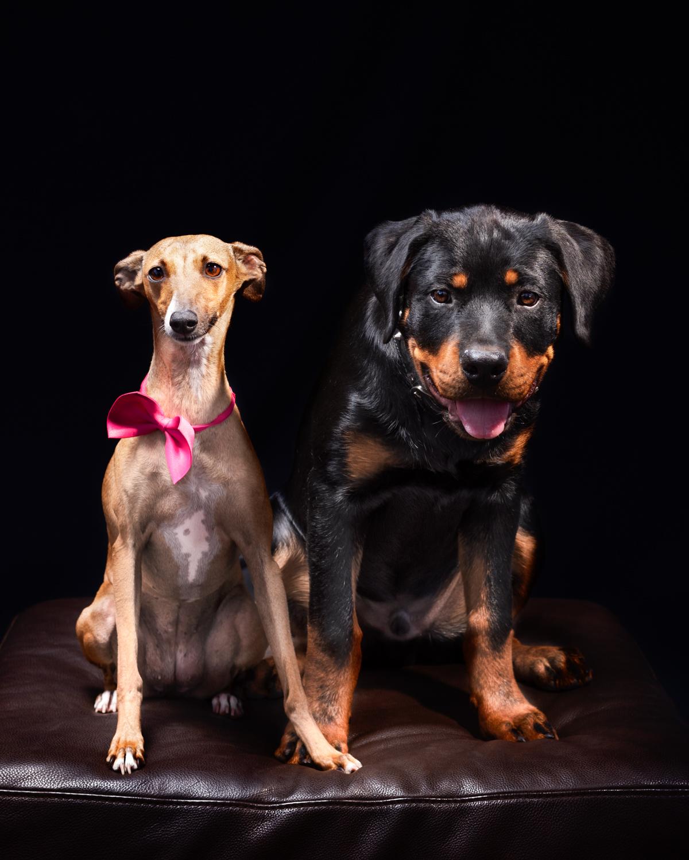 Dixon Dogs, Dixon Dog Photography, Dixon Photography, dog photography Melbourne, pet photography Melbourne, Melbourne dog photographer, pet photography mini-sessions, dog photos Melbourne, studio dog photography, whippet, rottweiler, 2 dogs photo