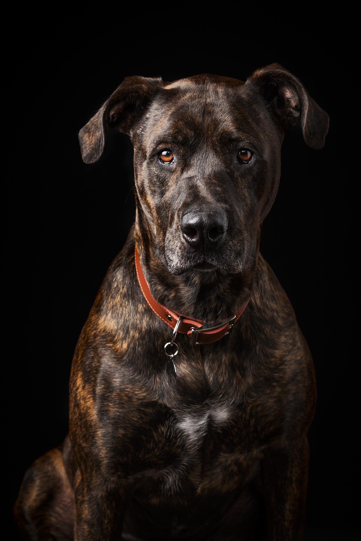 Dixon Dogs, Dixon Dog Photography, Dixon Photography, dog photography Melbourne, pet photography Melbourne, Melbourne dog photographer, pet photography mini-sessions, dog photos Melbourne, studio dog photography, bullarab, bull arab dog, brindle