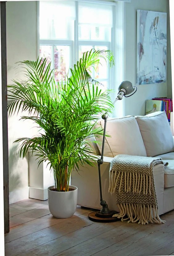 Areca Palms are awesome for cleaning your indoor air while keeping cats safe.