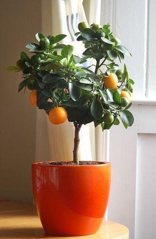 Indoor Orange Tree