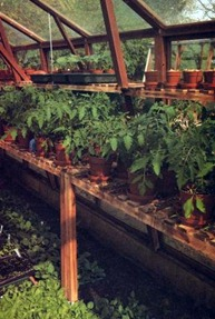 home-raised young tomato plants in greenhouse