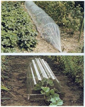polythene sheeting and corrugated plastic cloches