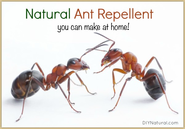 Natural Ant Repellent Spray: A Simple and Safe Spray That ...