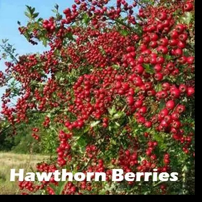 The leaves, flowers and berries of hawthorn are used to make medicine