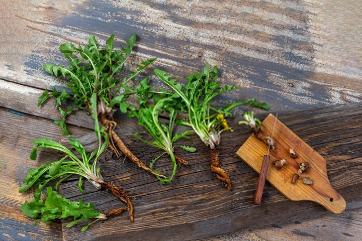 Dandelion Root For Moles Removal