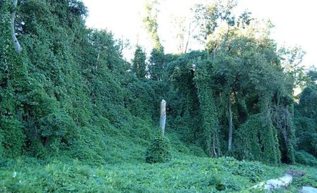 450px-Kudzu_on_trees_in_Atlanta,_Georgia