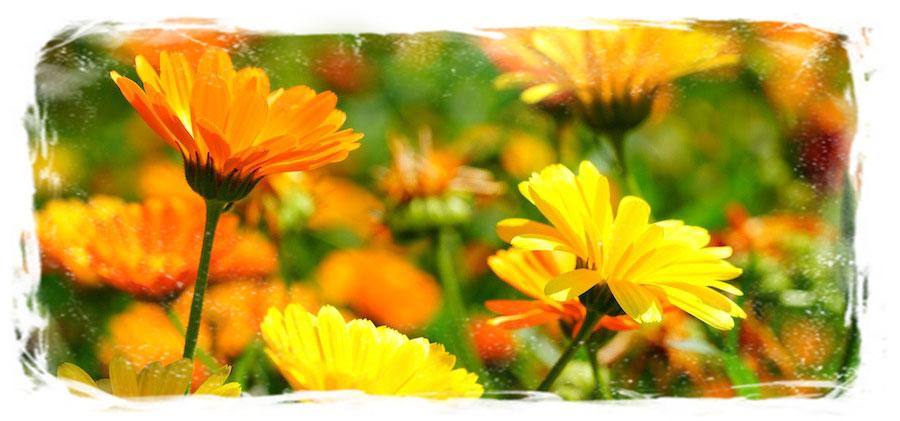 marigold garden of madrigal