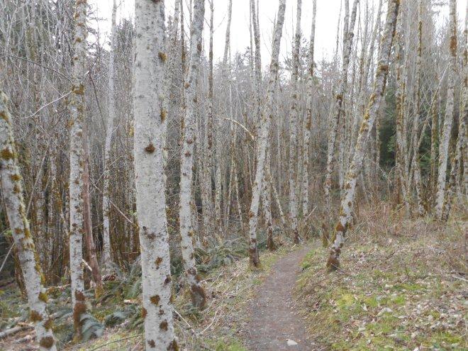 Squak Mountain Birches