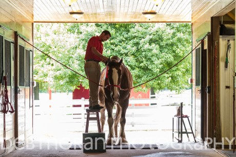 Clydesdale Grooming