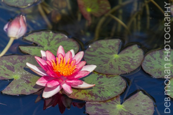 Pink Waterlily #2