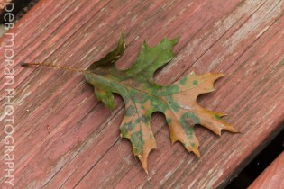 Speckled Oak Leaf